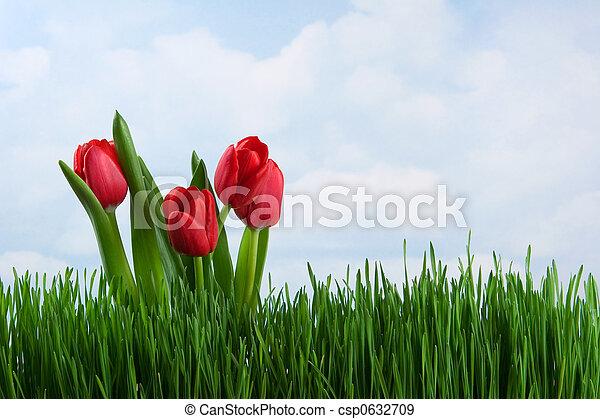 Tulips - csp0632709