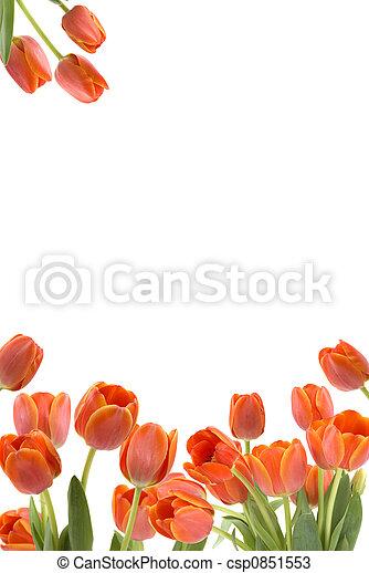 Tulips - csp0851553