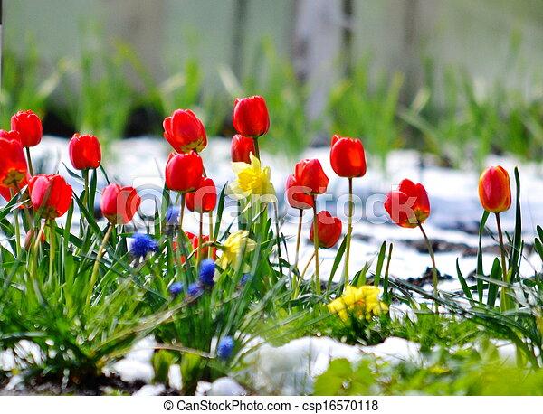 Tulips under snow - csp16570118