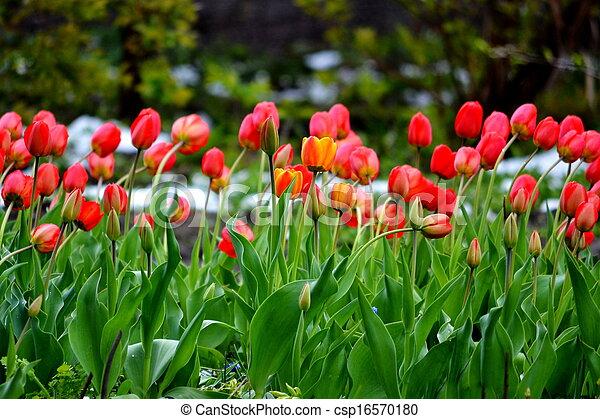 Tulips under snow - csp16570180