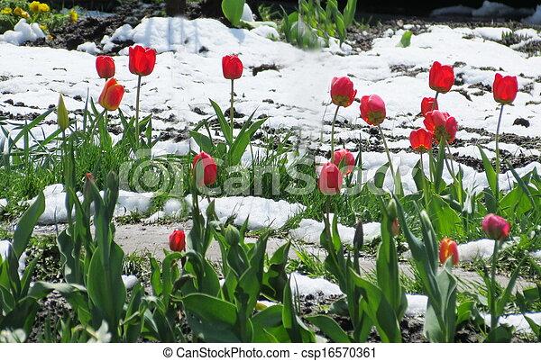Tulips under snow - csp16570361