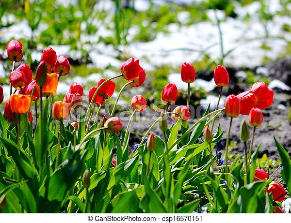 Tulips under snow - csp16570151