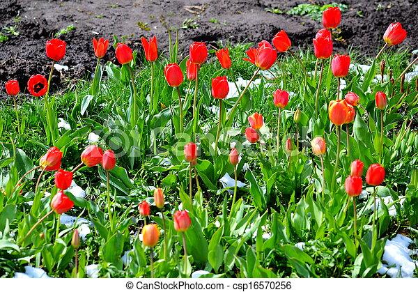 Tulips under snow - csp16570256