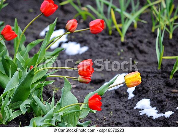 Tulips under snow - csp16570223