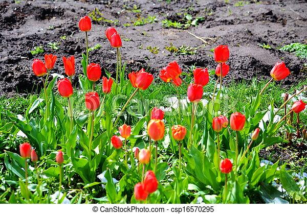Tulips under snow - csp16570295