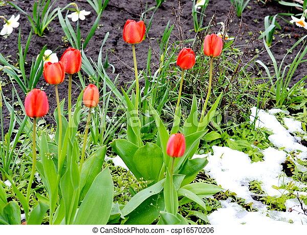 Tulips under snow - csp16570206