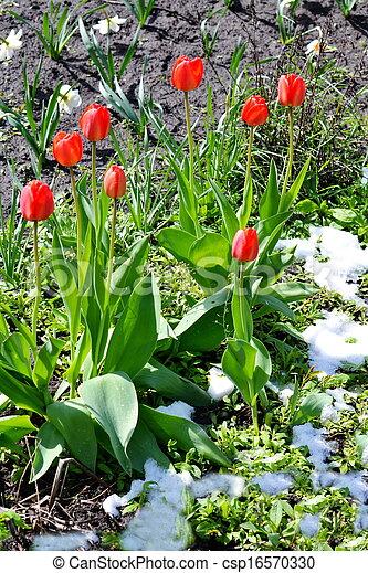 Tulips under snow - csp16570330