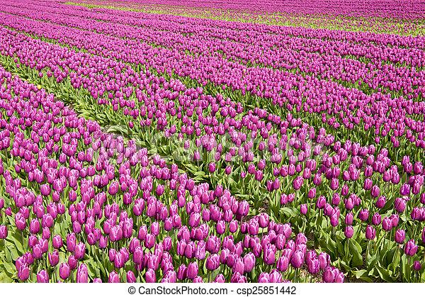 tulpe feld - csp25851442