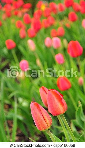 tulpe feld - csp5180059