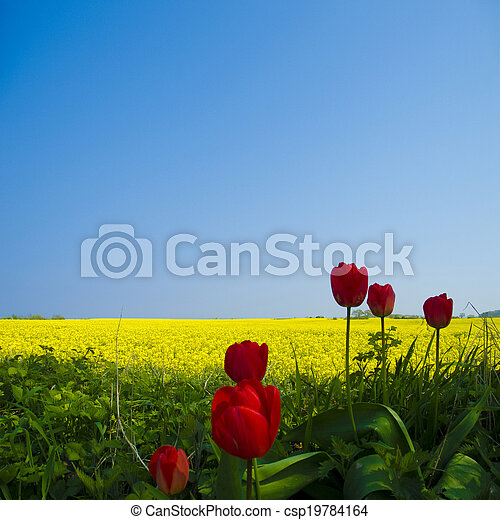 tulpen, canola, feld - csp19784164