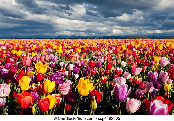 tulpen, feld - csp4492805
