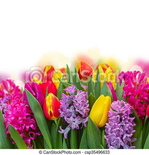 Tulpen, hyazinthen. Rosa, hyazinthen, tulpen, aus, hintergrund ...