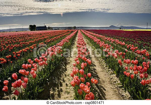 Tulpen skagit Washington - csp0801471