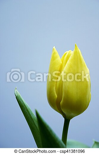 tulpenblüte, gelber  - csp41381096