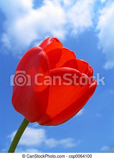 Rote Tulpe - csp0064100
