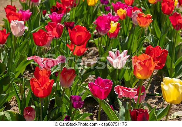 tulpenblüte, tulpen, feld, stehen, viele, bunter  - csp68751175
