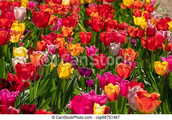 tulpenblüte, tulpen, feld, stehen, viele, bunter  - csp68751467