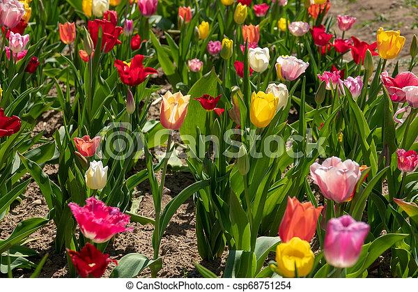 tulpenblüte, tulpen, feld, stehen, viele, bunter  - csp68751254