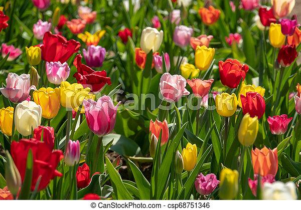 tulpenblüte, tulpen, feld, stehen, viele, bunter  - csp68751346