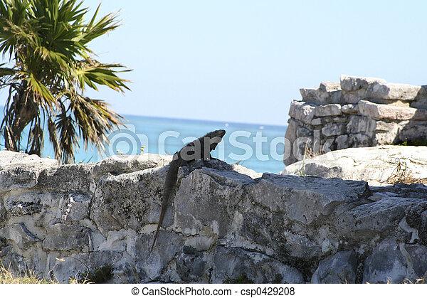 Tulum lizard - csp0429208