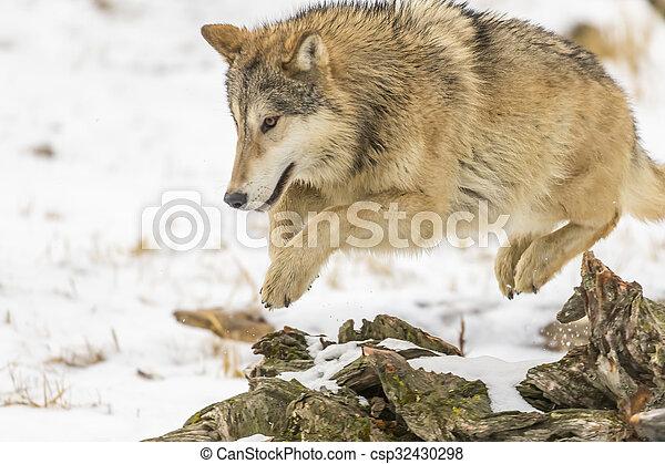 Tundra Wolves - csp32430298