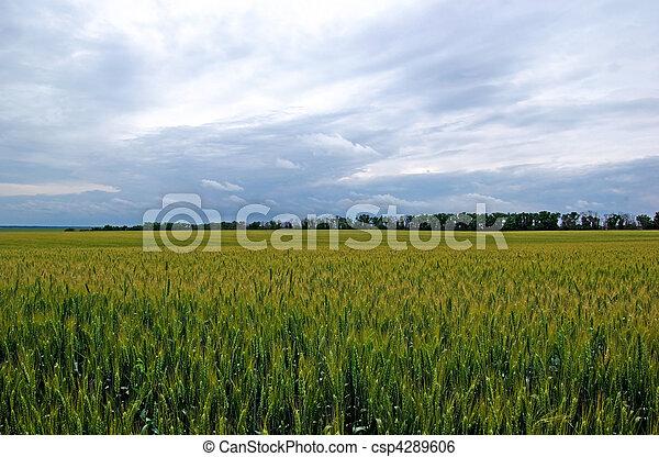 Tungsten summer field of green rye. Dramatic sky. - csp4289606