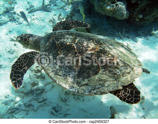 Turtle and coral reef - csp2456327