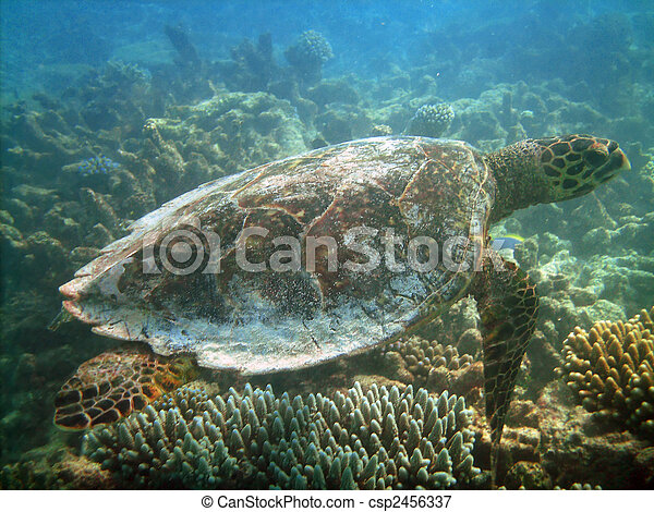 Turtle and coral reef - csp2456337