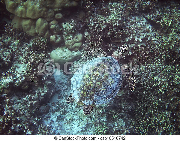 Turtle and coral reef - csp10510742
