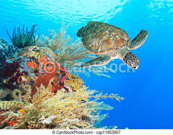 Turtle and coral - csp11653957