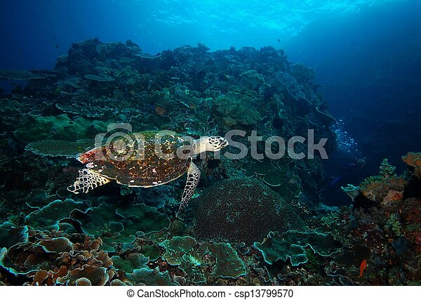 turtle coral reef and diver underwater - csp13799570