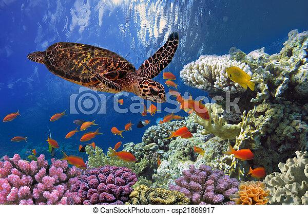 Turtle - Eretmochelys imbricata floats under water - csp21869917