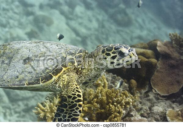 Turtle - csp0855781