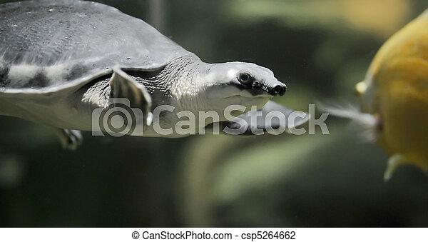 Turtle - csp5264662