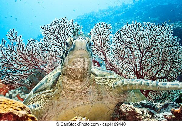 Turtle - csp4109440