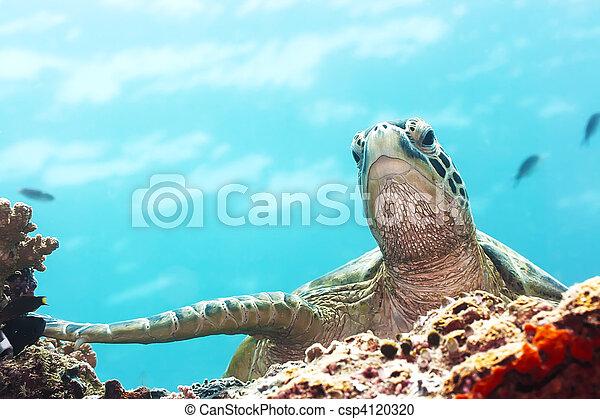 Turtle - csp4120320