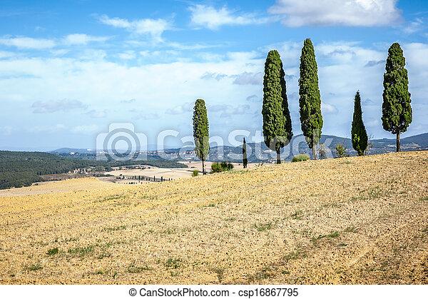 Tuscany Cypress - csp16867795