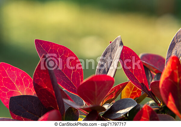 Twig Barberry Thunberg with red leaves close up, natural plant background - csp71797717