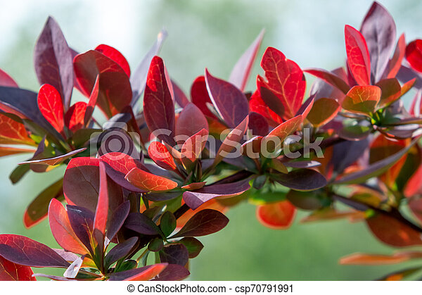 Twig Barberry Thunberg with red leaves close up, natural plant background - csp70791991