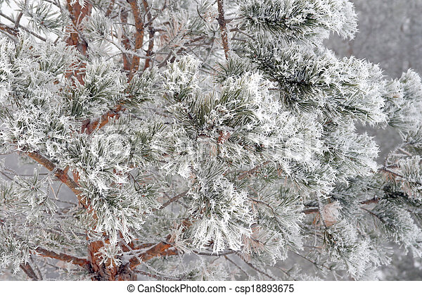 Twig of pine hoar-frost covered - csp18893675