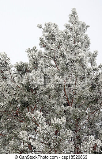 Twig of pine hoar-frost covered - csp18520863