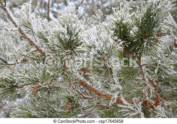 Twig of pine hoar-frost covered - csp17645658