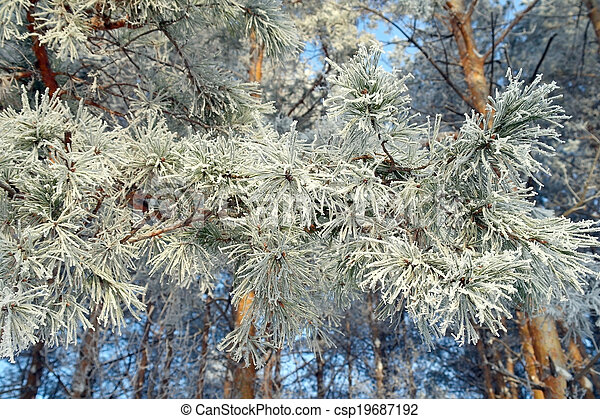Twig of pine hoar-frost covered - csp19687192