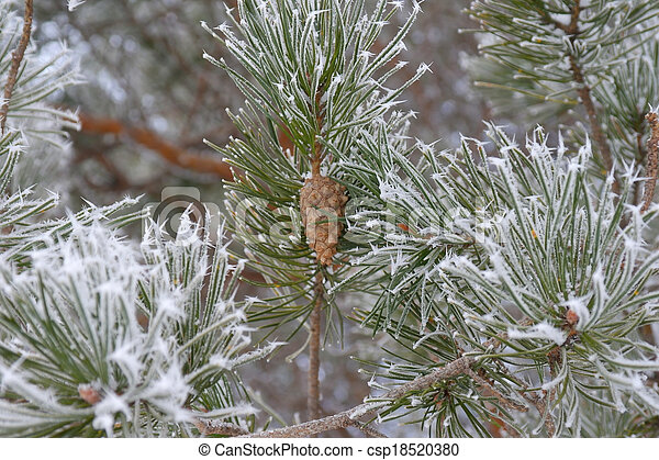 Twigs of pine hoar-frost covered - csp18520380