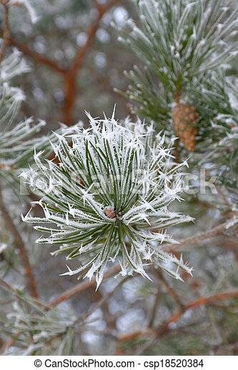 Twigs of pine hoar-frost covered - csp18520384