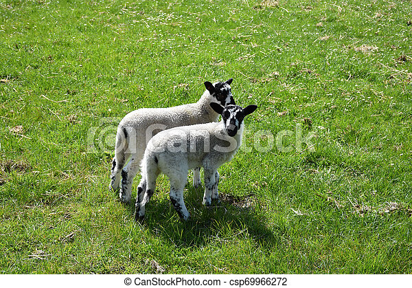 Twin Beulah Speckled Face Lambs in a Field - csp69966272