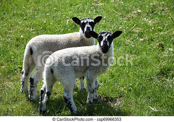 Twin Pair of a Young Lambs in a Meadow with Flowers - csp69966353