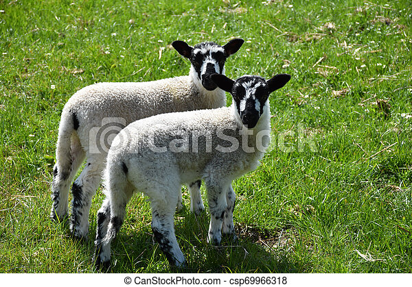 Twin Speckled Lambs in a Grass Field in England - csp69966318