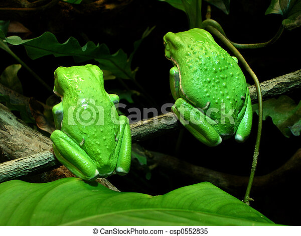 Twin Tree Frogs      - csp0552835