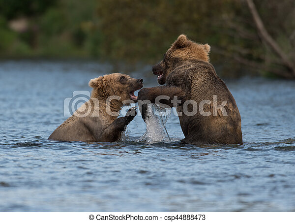 Two Alaskan brown bears playing - csp44888473